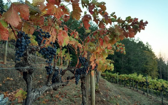 Close up of grape bunches on vines