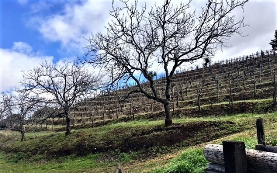 Bare trees with grapevines on hillside behind