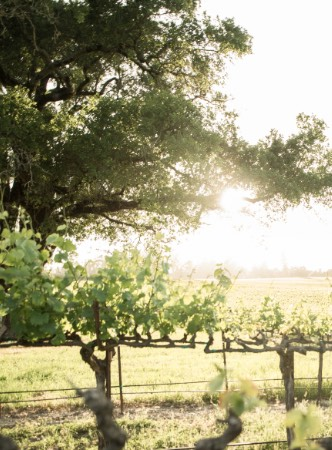 Grapevines with tree and sun in background