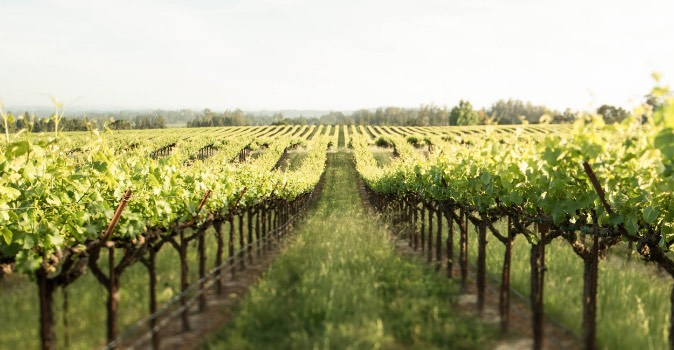 View down grapevine rows in vineyard