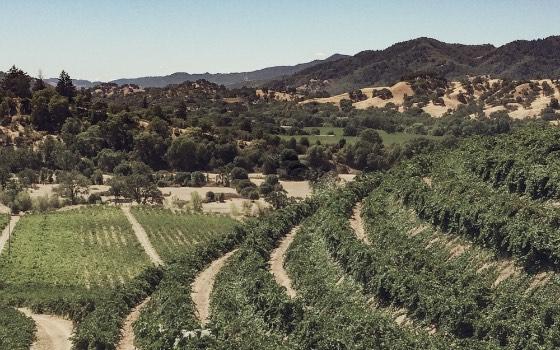 Curved hillside vineyard rows