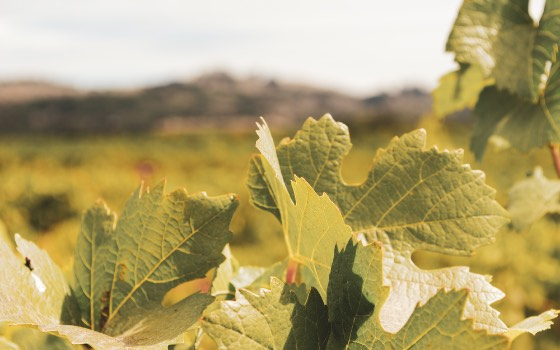 Grapevines with hills in background
