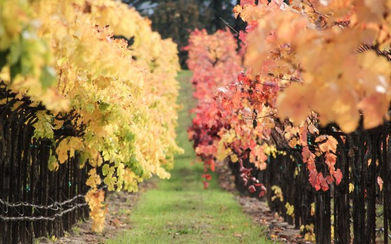 Grapevine rows in autumn colors