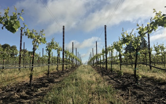 View down new grapevine rows
