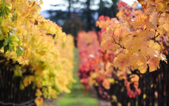 Autumn colors wine vines rows