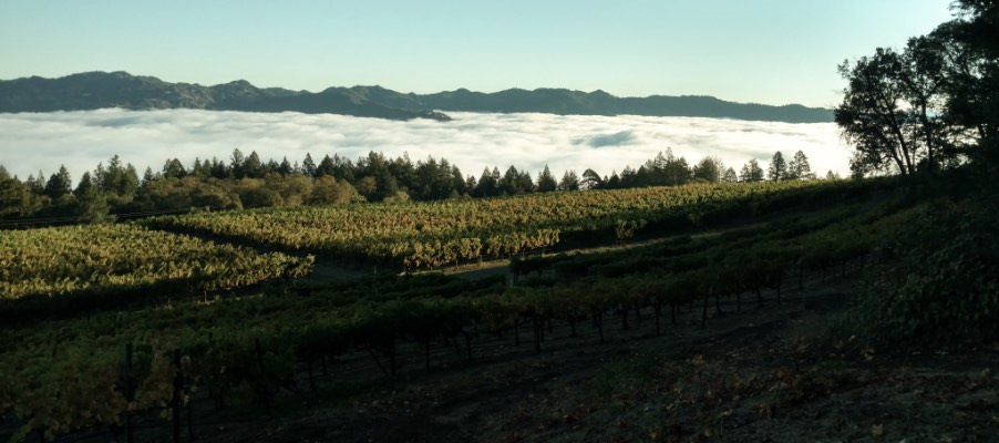 Vineyards with fog in the background