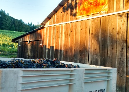 Bins of grapes with barn in background