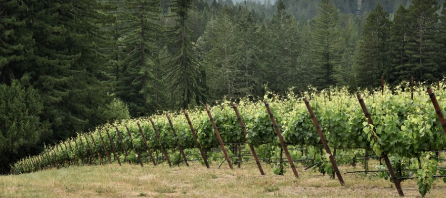 Edge of rows of grapevines