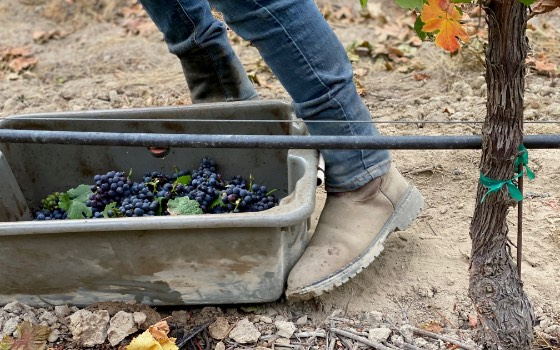 Grape collection bin being pushed by boot