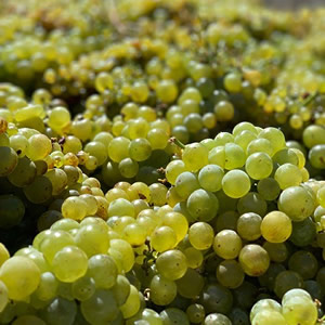 Mill Station Chardonnay Harvest